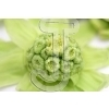 Butterbur sprout