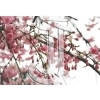 Cherry Blossom